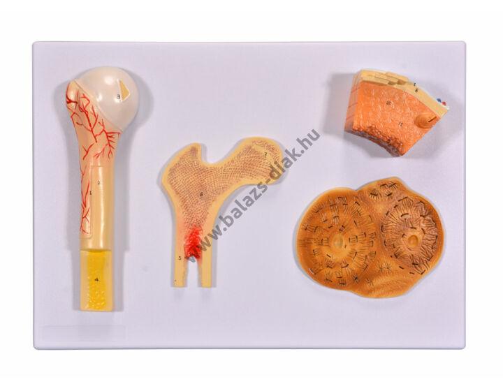 Csontmodell - csontstruktúra