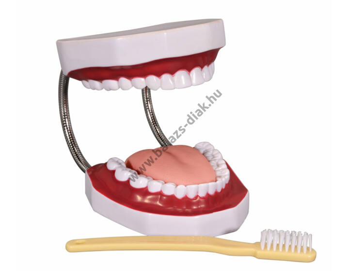 Fogmosó, fogápolási modell+fogkefe