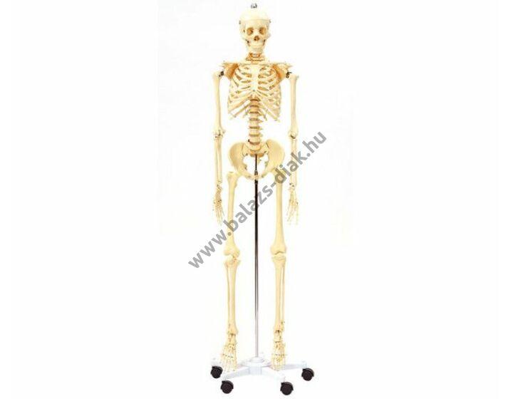Emberi csontváz Stan, 170 cm magas, 7,6 kg