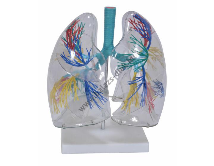 Tüdő modell 2