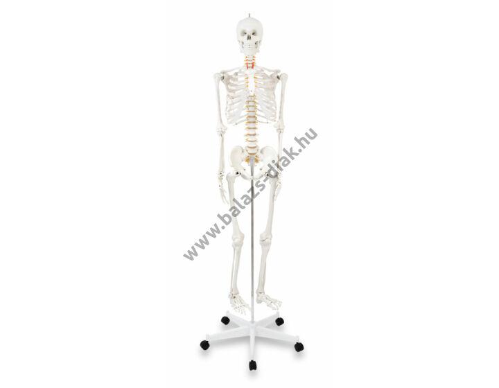 Emberi csontváz Stan, 180 cm magas