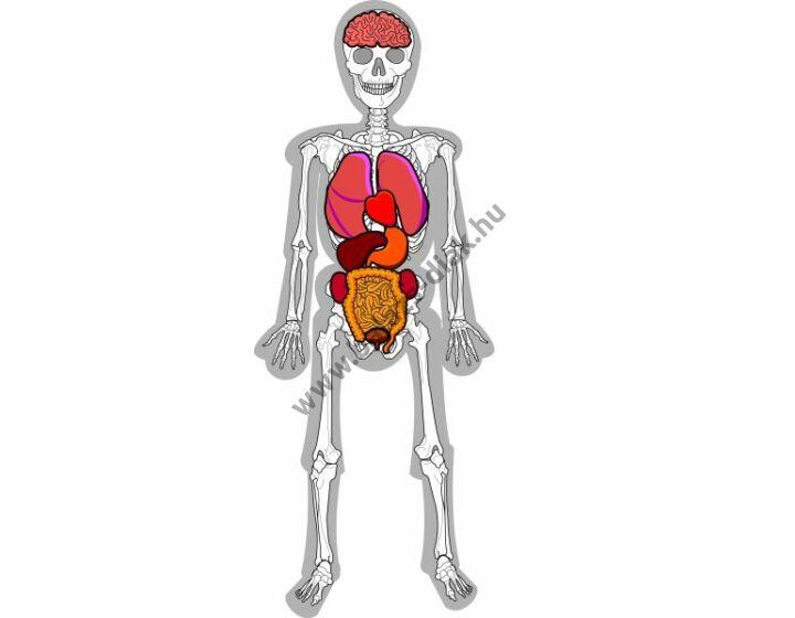 Fali csontváz szervekkel